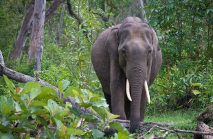 Wild Indian Elephant in the forest also known as Elephas maximus indicus at Nagarhole National Park, Karnataka, India copy