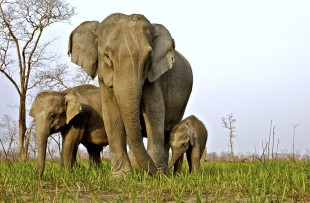 Low angle shot of a Female Asian elephant with her calves in Kaziranga national park copy