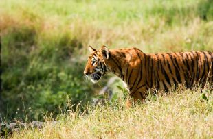 Tiger Cub in the grass copy